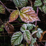 Frost on Himalaya Blackberry, Joyce Valley, WA