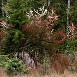 Cedar Stump, Western Washington